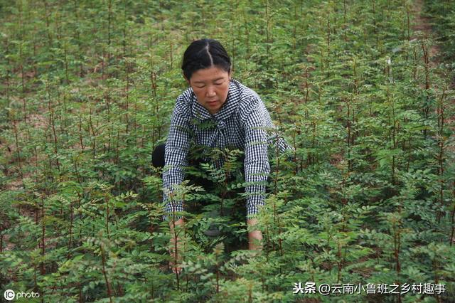花椒籽怎么种才能发芽?花椒春季种子繁殖风险大,这样做效果好