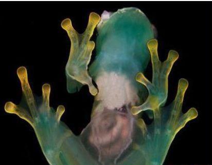 玻璃壳蛙胶