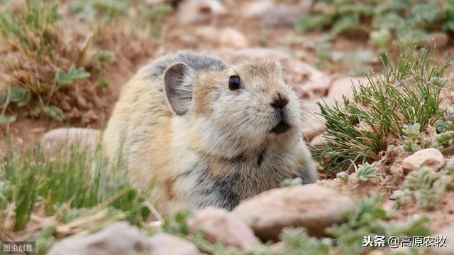 介绍一下达呼尔鼠兔