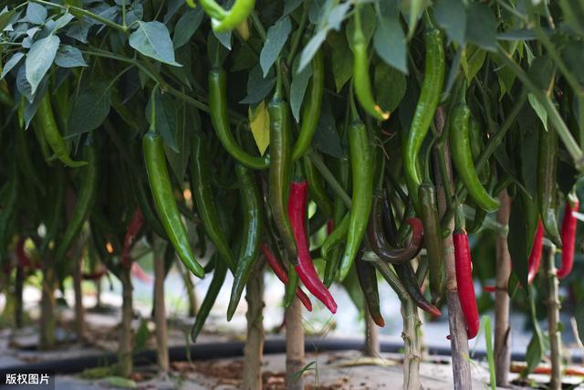 牛角椒这样种,每棵辣椒都压满枝,太高产了,方法要收好