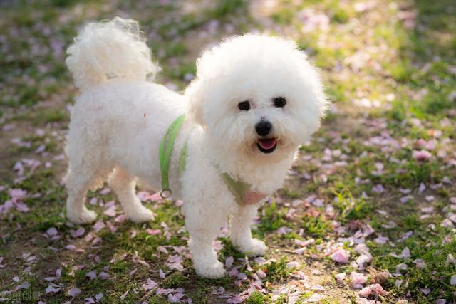 小型宠物狗幼崽图片