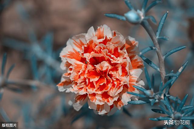 太阳花老桩图片欣赏