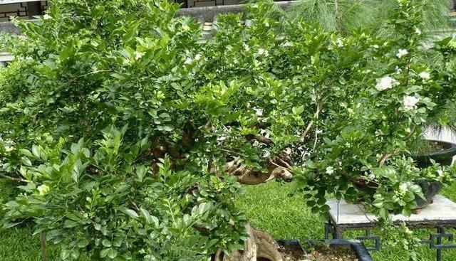 盆栽十里香怎么养
