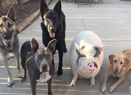 妙龄女孩和猪同床5年,从20斤养到200斤,要与它相爱结婚