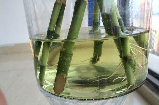 富贵竹水培有技巧,想要生根不黄叶,先得选对位置