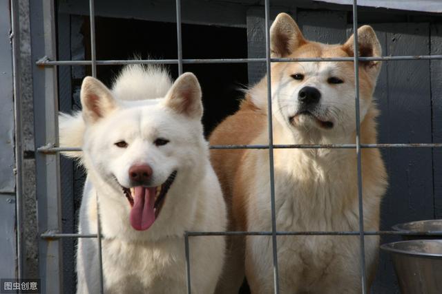 狗狗发情期的注意事项,公狗和母狗发情有什么区别?