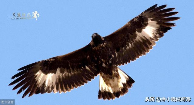 猫头鹰猎杀金雕的罕见场面 猛禽对猛禽相煎何太急