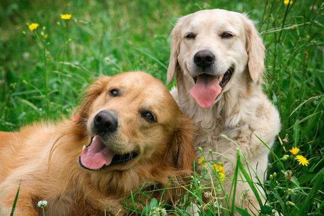 狗狗为什么会乱拉乱尿?如何让它学会定点大小便?6步训练就到位
