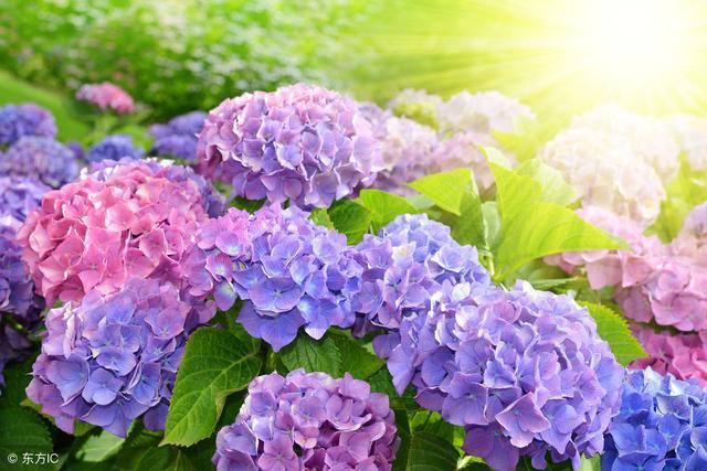 新买绣球花的养殖方法