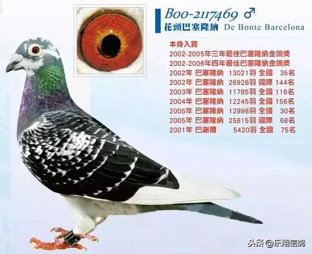 戈马利的经典种鸽图片