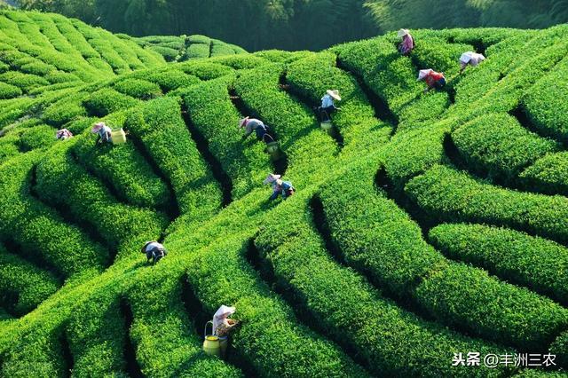 茶叶种植技术及推广策略,促进茶叶产业的健康发展,看完就知道
