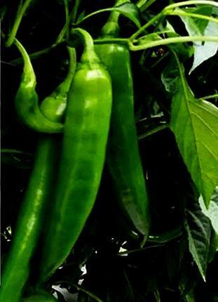 牛角椒中哪个品种最好?