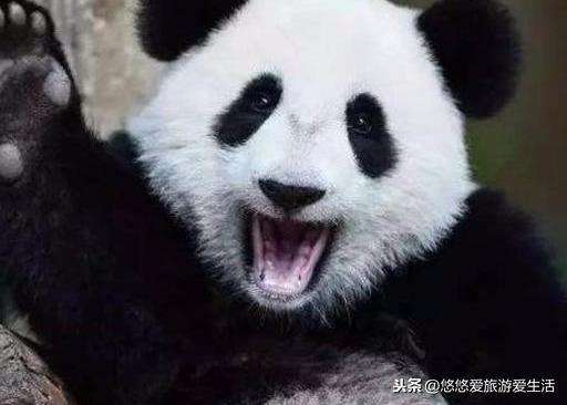 大熊猫为什么是国宝