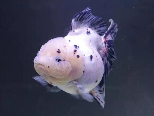 老三样疗法,是对付金鱼常见病最好的方法,饲养金鱼轻易不下药