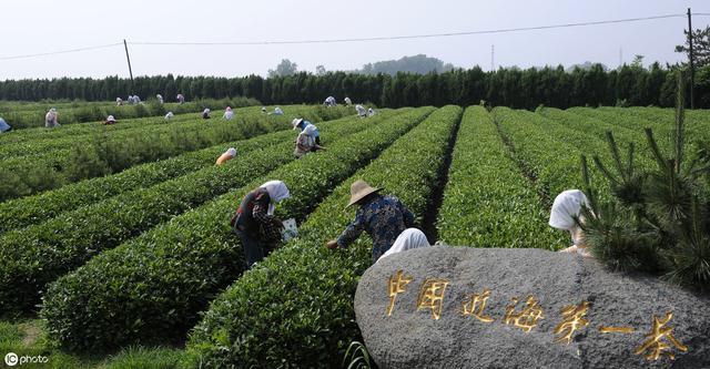 日照绿茶简介_东海凝翠生态茶