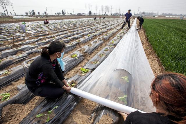 冬季种植大棚蔬菜,该如何选择地膜?怎样的才是好的?