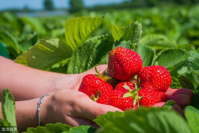 草莓种植-百科