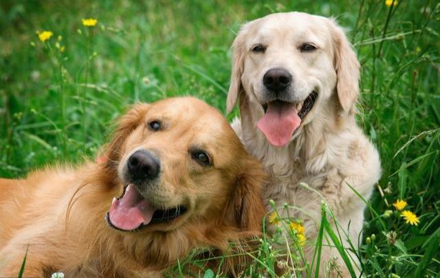 公狗和母狗的生长发育及配种 - 京东