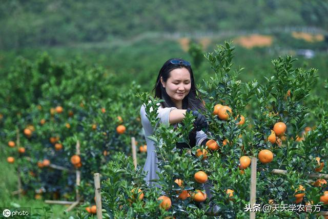 茂谷柑让大胆引进它的果农们看见了金色的希望!!!_美篇