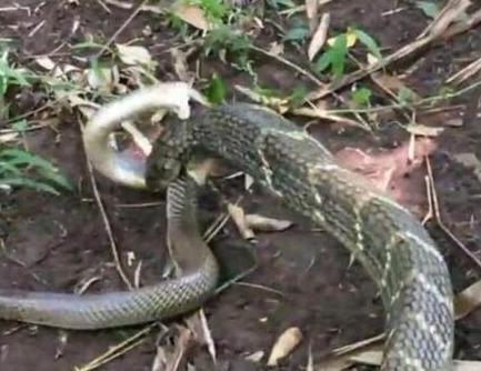 山王蛇的饲养知识|-波奇网百科大全