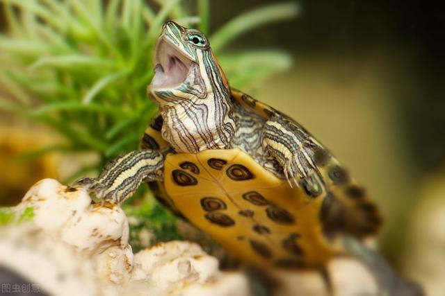 养龟要注意什么?乌龟最常见疾病的防治方法,龟友要看