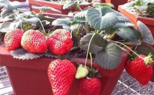 想吃好草莓,自己动手栽,用些土方法,挂果几十棵,一摘一大盘
