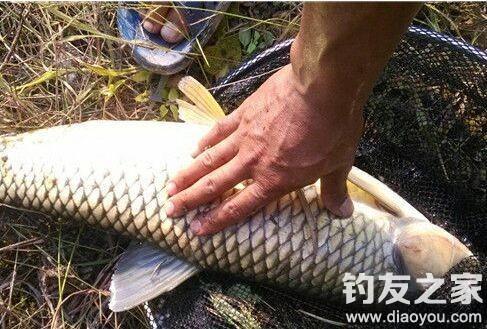 秋季江河野钓草鱼的钓饵和钓法技巧