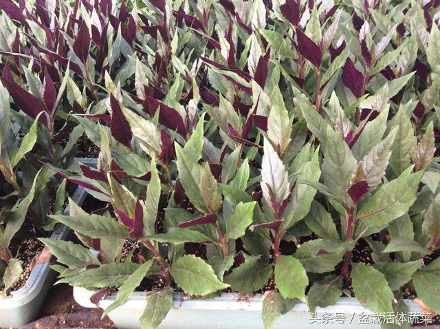 盆栽活体蔬菜之盆栽蔬菜基地食材花园建设