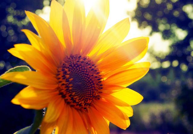 关于向日葵励志句子 向日葵的阳光励志句子