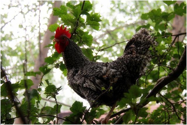 民间现存的几种观赏鸡,非常漂亮,最后一种很厉害,一般人靠不近
