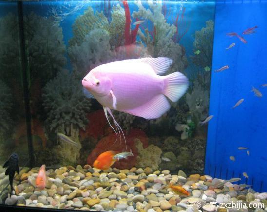【图】自己养大的白招财鱼十斤大、和鹦鹉鱼、八... - 太原百姓网
