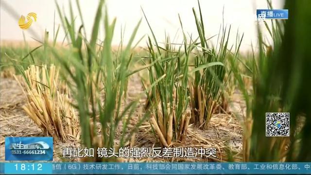 中国成功在热带沙漠上种植亩产500公斤超级水稻,技术遥遥领先世界