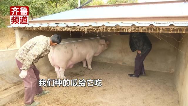 """烟台山前村""""猪王"""",6岁1500斤!主人:想要肥吃饱睡"""