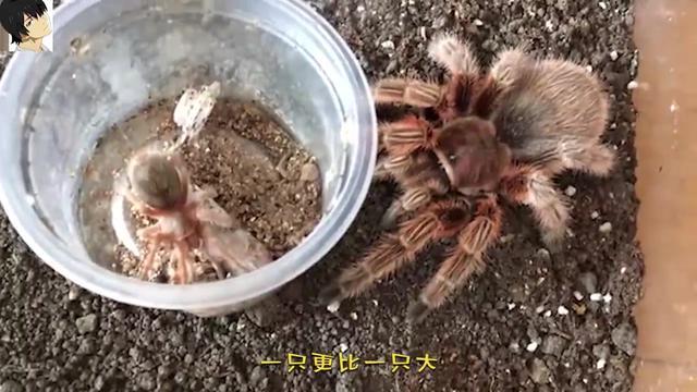 火玫瑰蓝哥斑蜘蛛