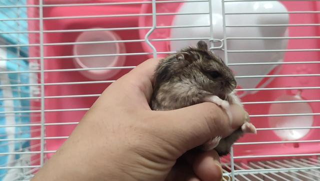 仓鼠丈夫在仓鼠老婆生孩子的第一天选择逃跑,渣鼠!