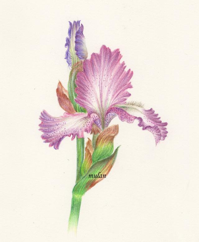 一朵鸢尾花