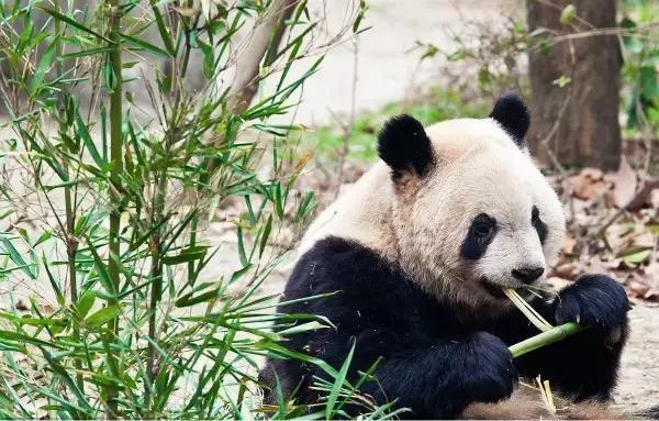 瑞竹高升熊猫饰品
