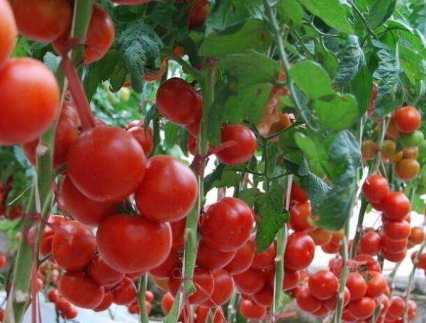 西红柿的种植技术及管理方法
