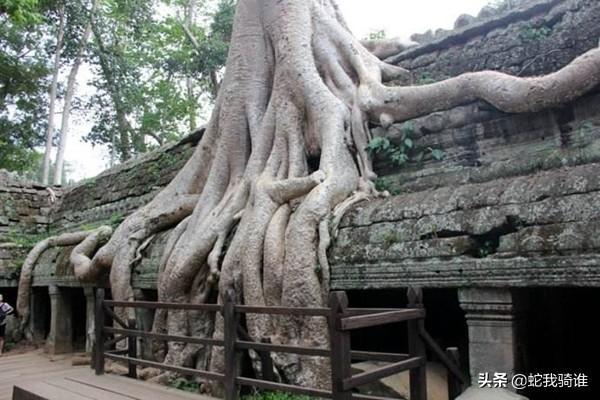 科学辨伪非洲蛇树吃人传言,手一碰到像蛇的枝条就被缠住