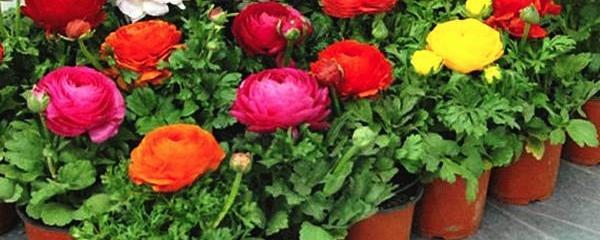 盆栽牡丹花的种植方法