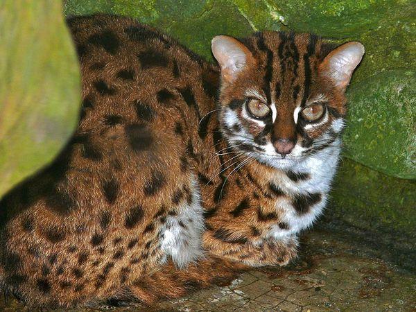 临海括苍山区发现三只豹猫幼崽 属国家二级保护动物