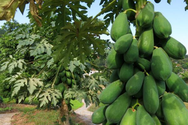 木瓜树的价值高、目前直径15厘米木瓜树价2000元上下、我承包...