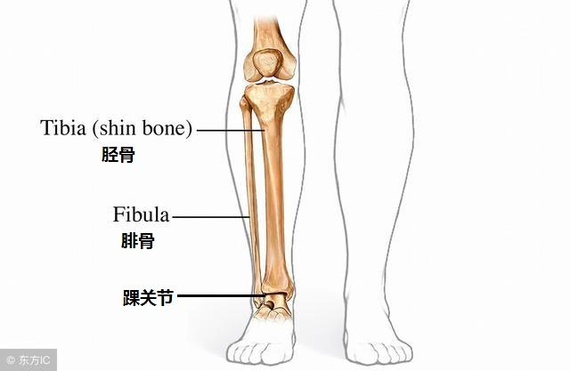 下肢静脉血管解剖图