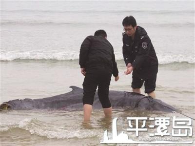 营救小抹香鲸过程_抹香鲸全集视频_紫影纷菲788_搜狐视频