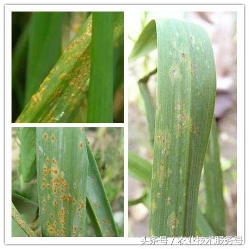 大蒜主要病虫害识别及防治措施