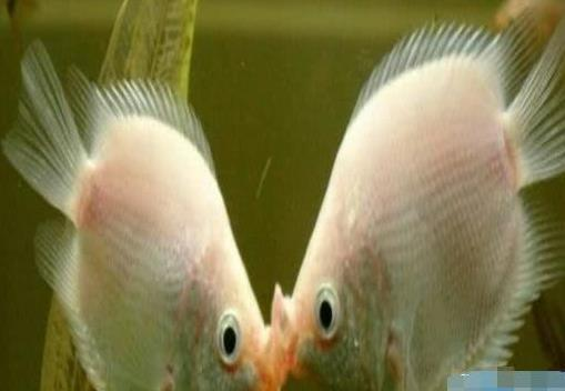 接吻鱼多少钱一对 接吻鱼怎么养才好 - 京东
