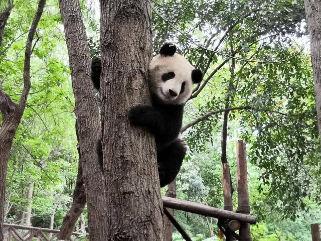 熊貓圖片卡通 圖片
