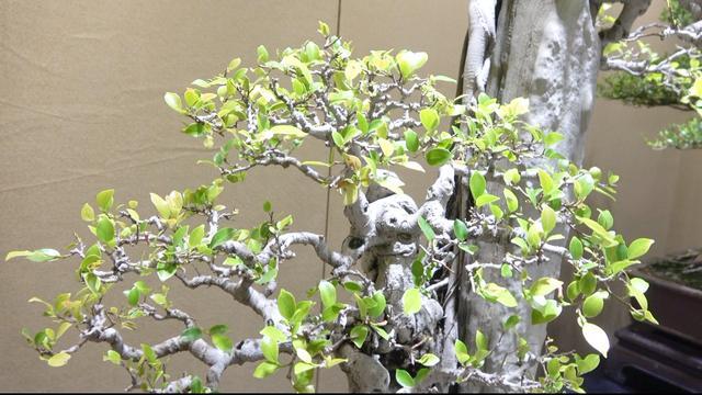 悬崖榕树盆景图片大全