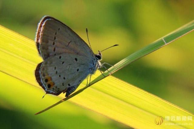 蓝蝶--蓝灰蝶