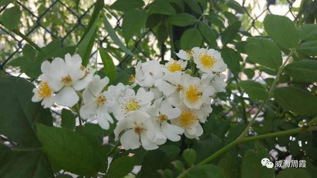 白蔷薇志摩子乃梨子图